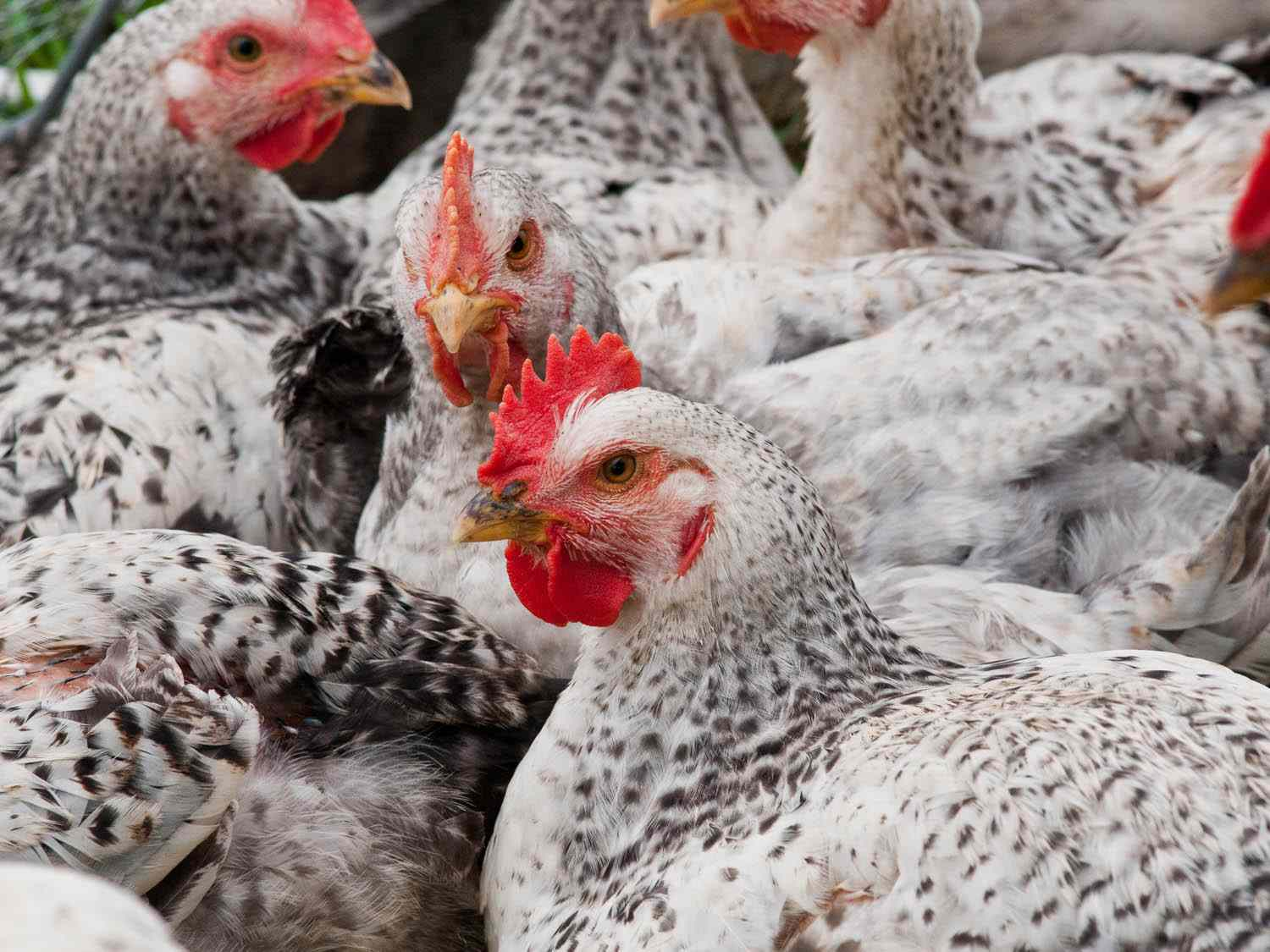 A group of live chickens at an industrial farm.