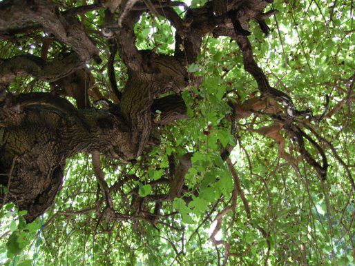 20120608-mulberry-tree-inside.jpg