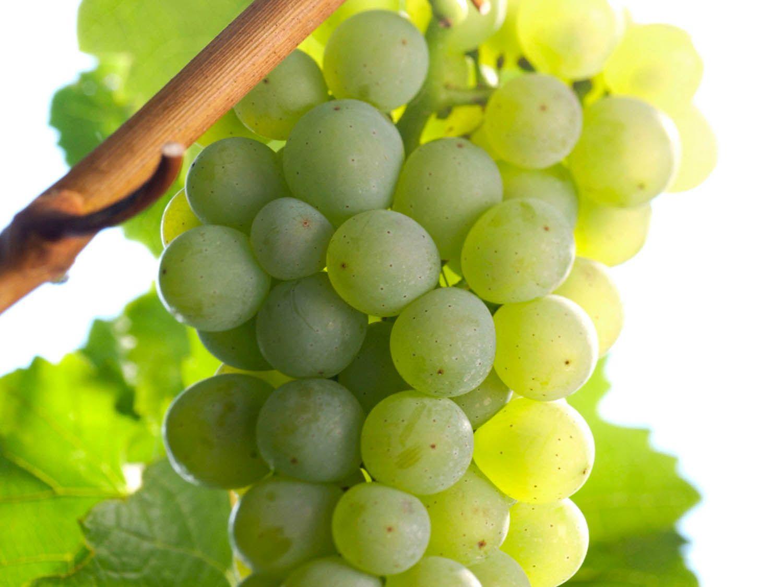 Grape_Silvaner.jpg