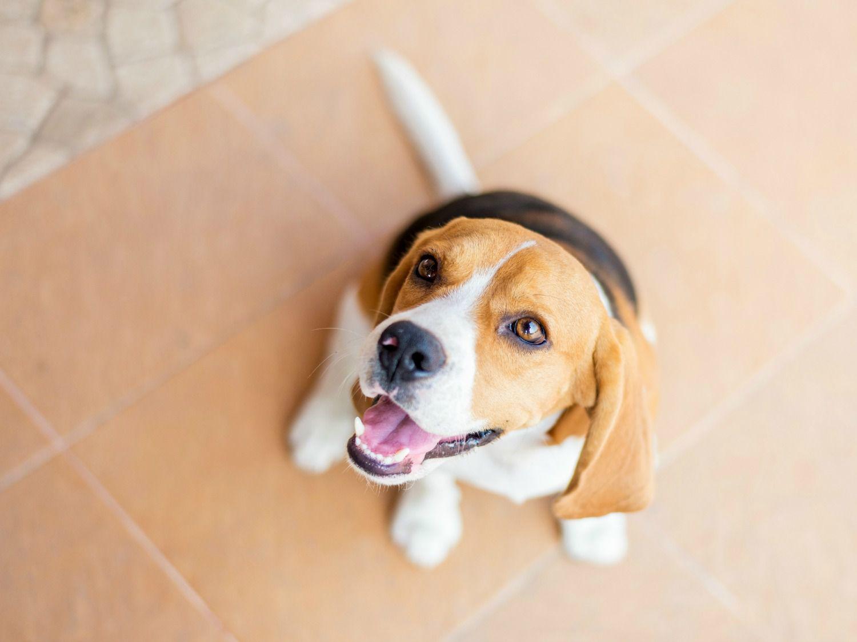 20151127-thanksgiving-disaster-beagle.jpg