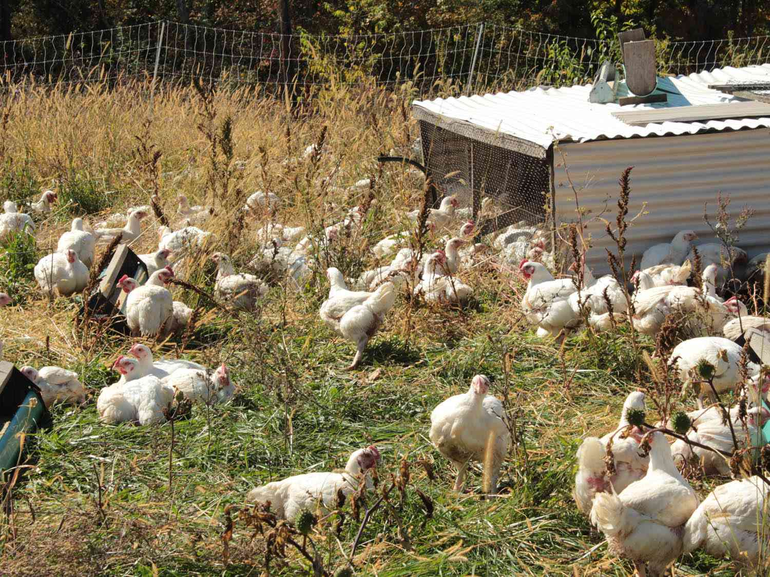 Chickens pecking in a grassy field with a hen house in the background.