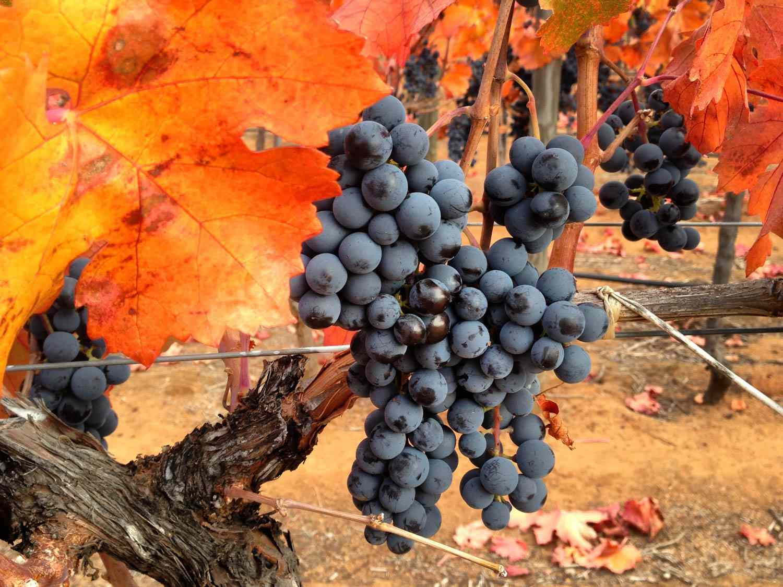 20150625-chilean-wine-carmenere-grapes-chile-jake-pippin.jpg