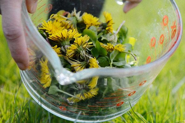 A glass measuring cup holding dandelion blossoms and greens.