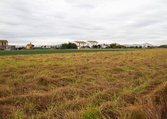 Tiger nut field