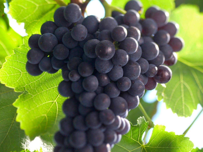 Grape_Spntburgunder2.jpg