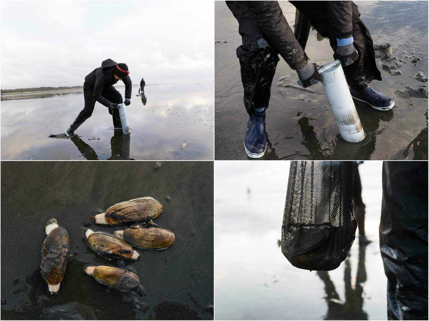 Collage of process of gathering razor clams: a razor clammer digging into the sand with a clam gun, close-up of clam gun in sand, five razor clams resting on sand, mesh bag holding razor clams