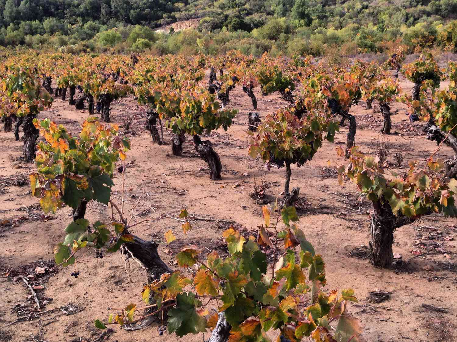 20150625-chilean-wine-maule-old-vines-pais-jake-pippin.jpg