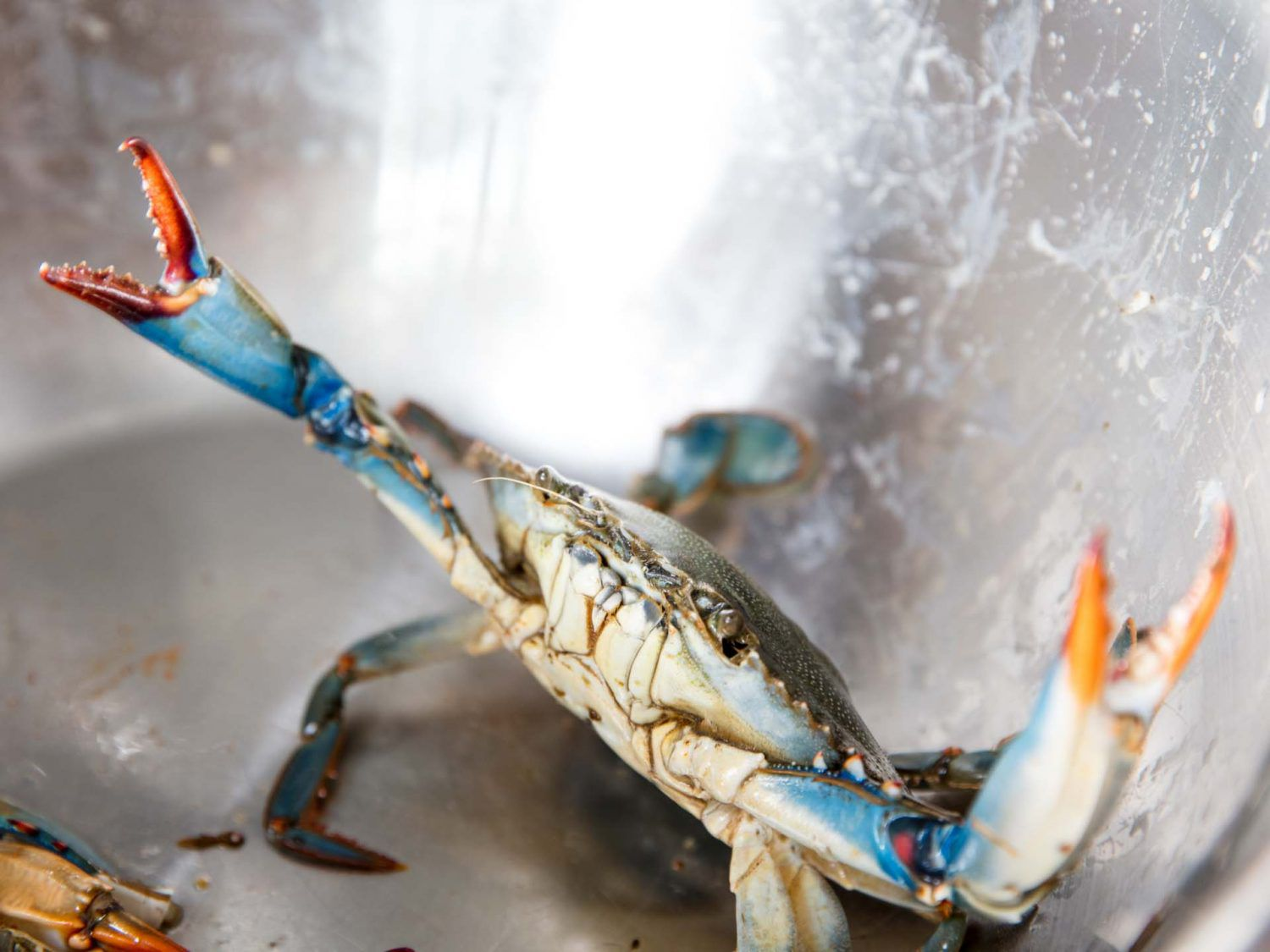 A live blue crab in a metal bowl