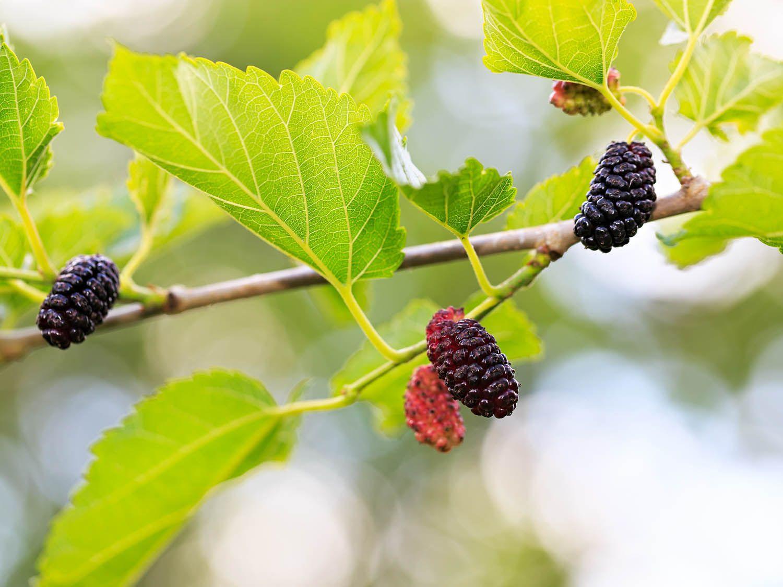 shutterstock_2063869270-mulberry.jpg
