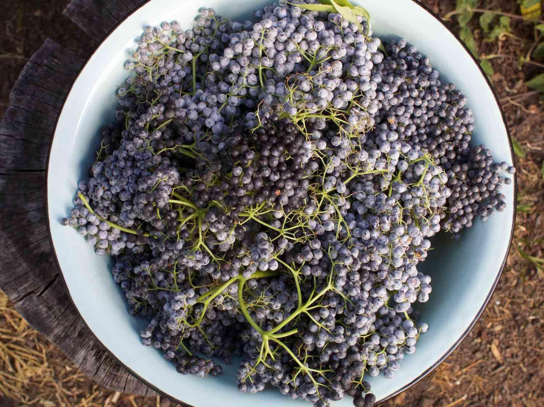20140727-berry-guide-elderberries-jennifer-latham.jpg