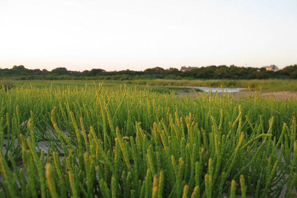 179694-glasswort-seaweed-jen-lighty.JPG