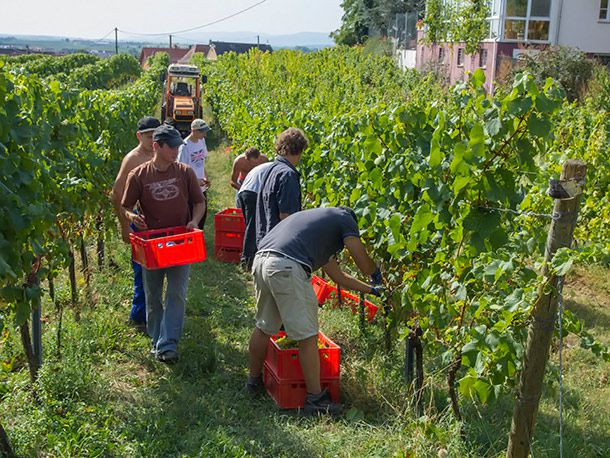 picking Riesling grapes