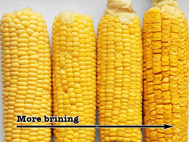 Four ears of corn, with ears of plump kernels on the left and ears with dry kernels on the right.