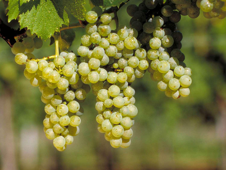 Grape_Maller-Thurgau.jpg