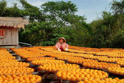 A woman standing in the middle of several dozen raised round racks where persimmons are being dried.