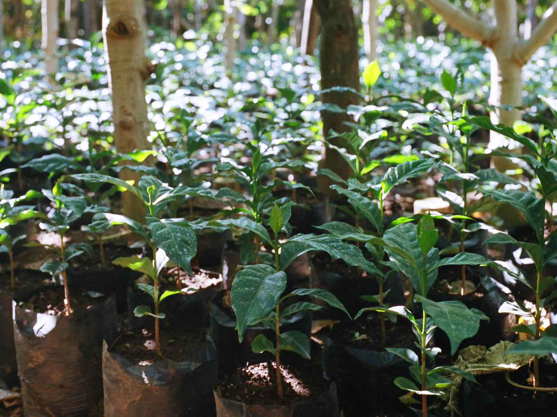20150817-coffe-plants-ray-mwareya.jpg