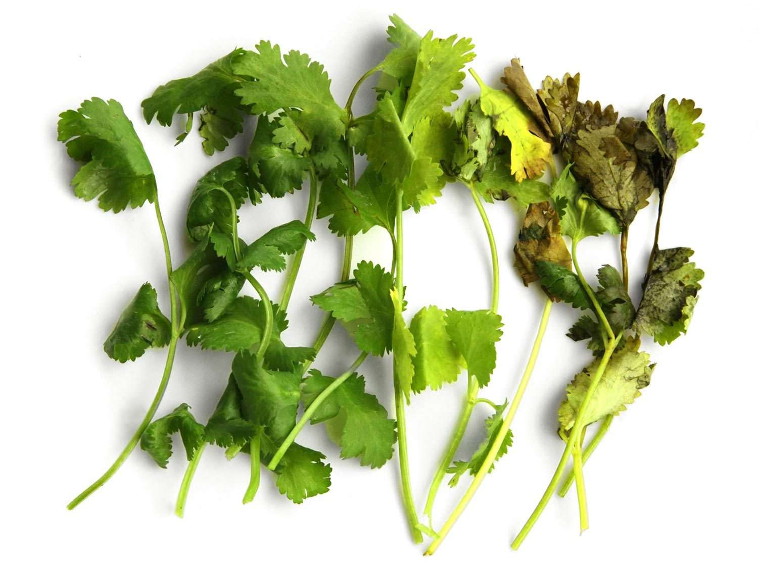 Sample stems of cilantro, ranging from very fresh and green to wilted and browned, stored in different ways