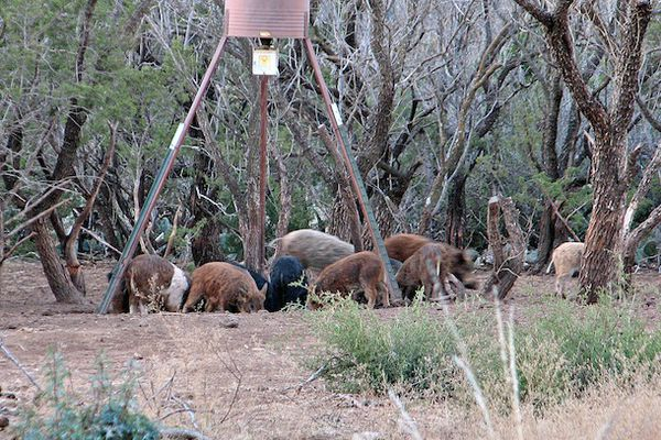 Wild pigs at a feeder in the woods in Texas.