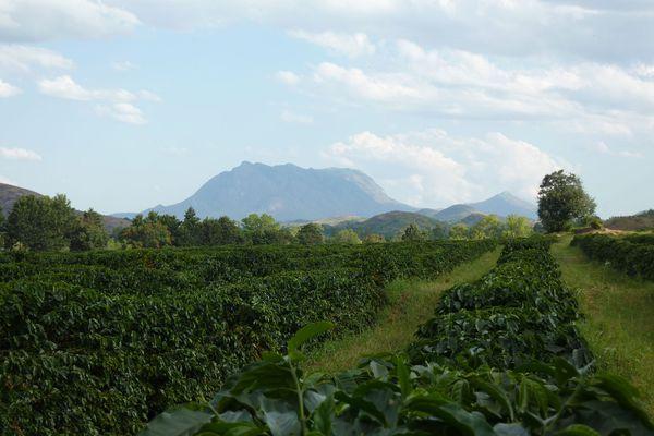20150817-coffe-plant-rows-ray-mwareya.jpg
