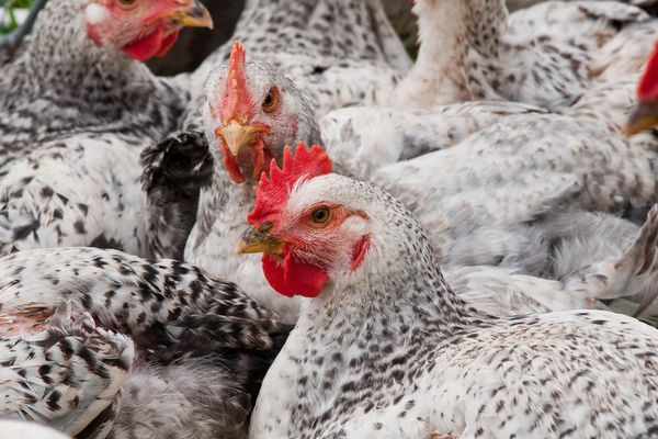 A group of chickens at an industrial farm.
