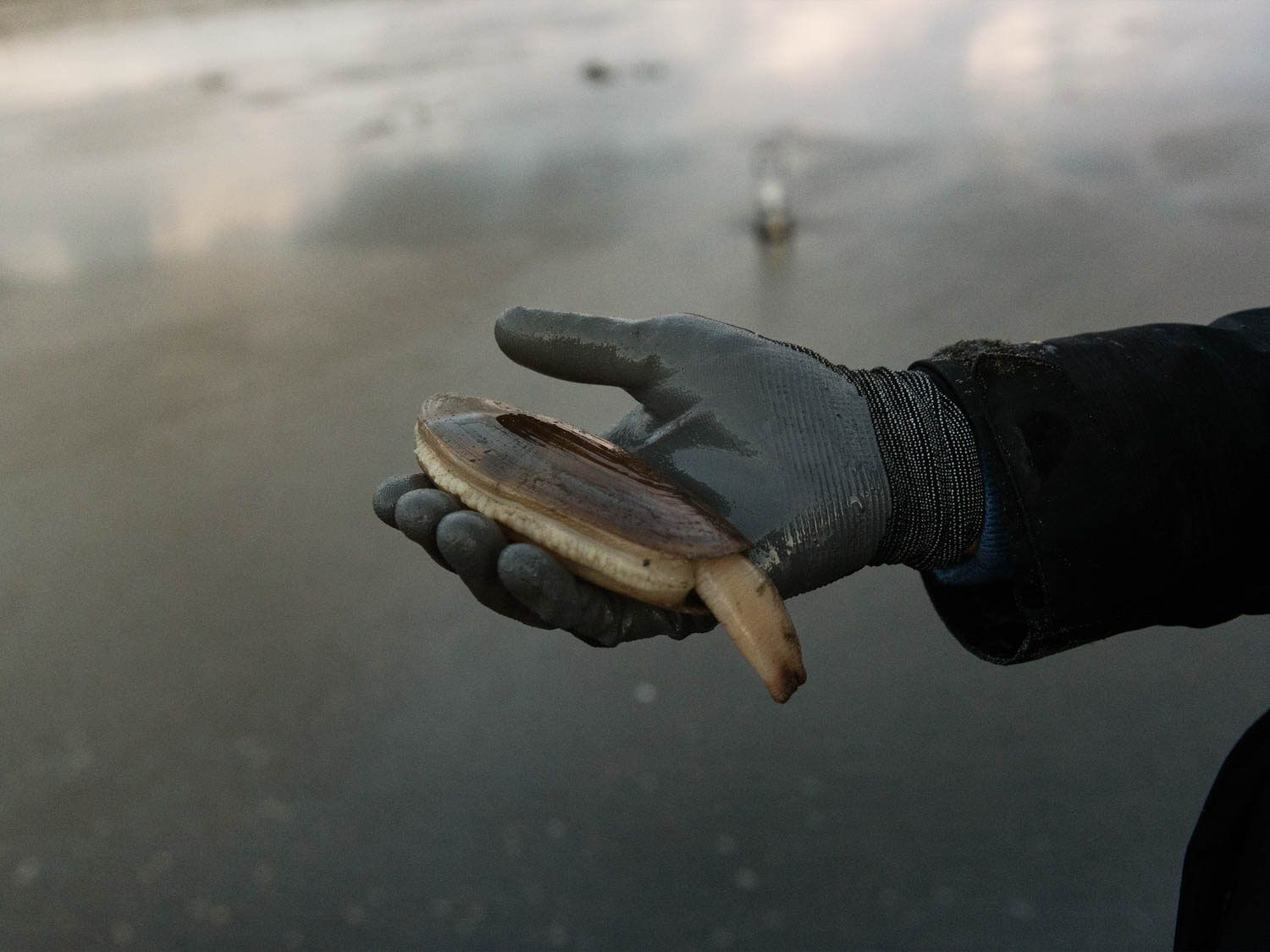 A gloved hand holding a Pacific razor clam, with out-of-focus beach in the background