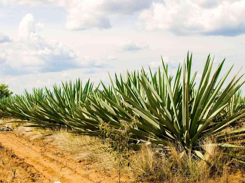 Agave plants in Oaxaca