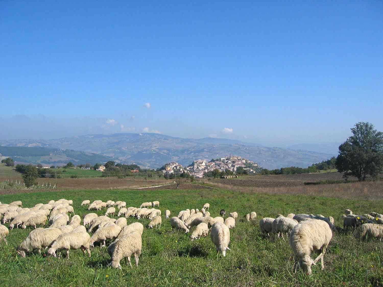 Sheep grazing in a meadow with mountains in the background