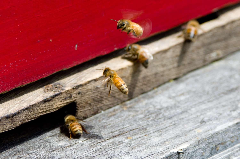 20140617-honey-bees-max-falkowitz-landing.jpg