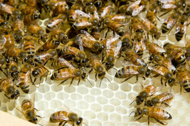 20140617-honey-bees-max-falkowitz-wax-5.jpg