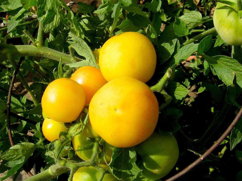20150622-tomato-guide-garden-peach-flickr.jpg