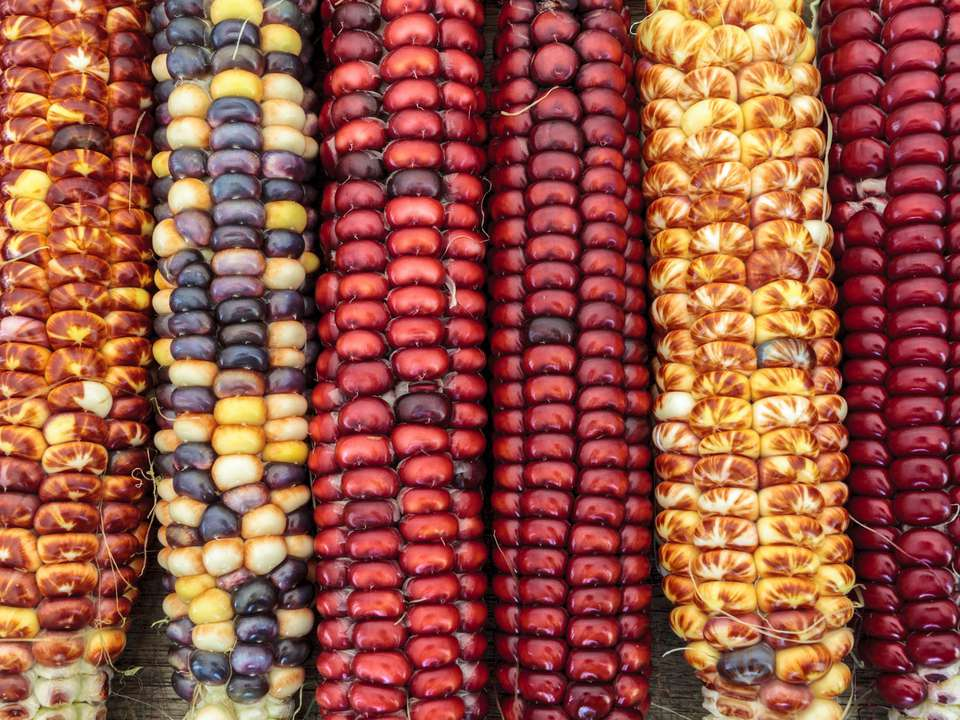 Five shucked ears of different colors of corn.