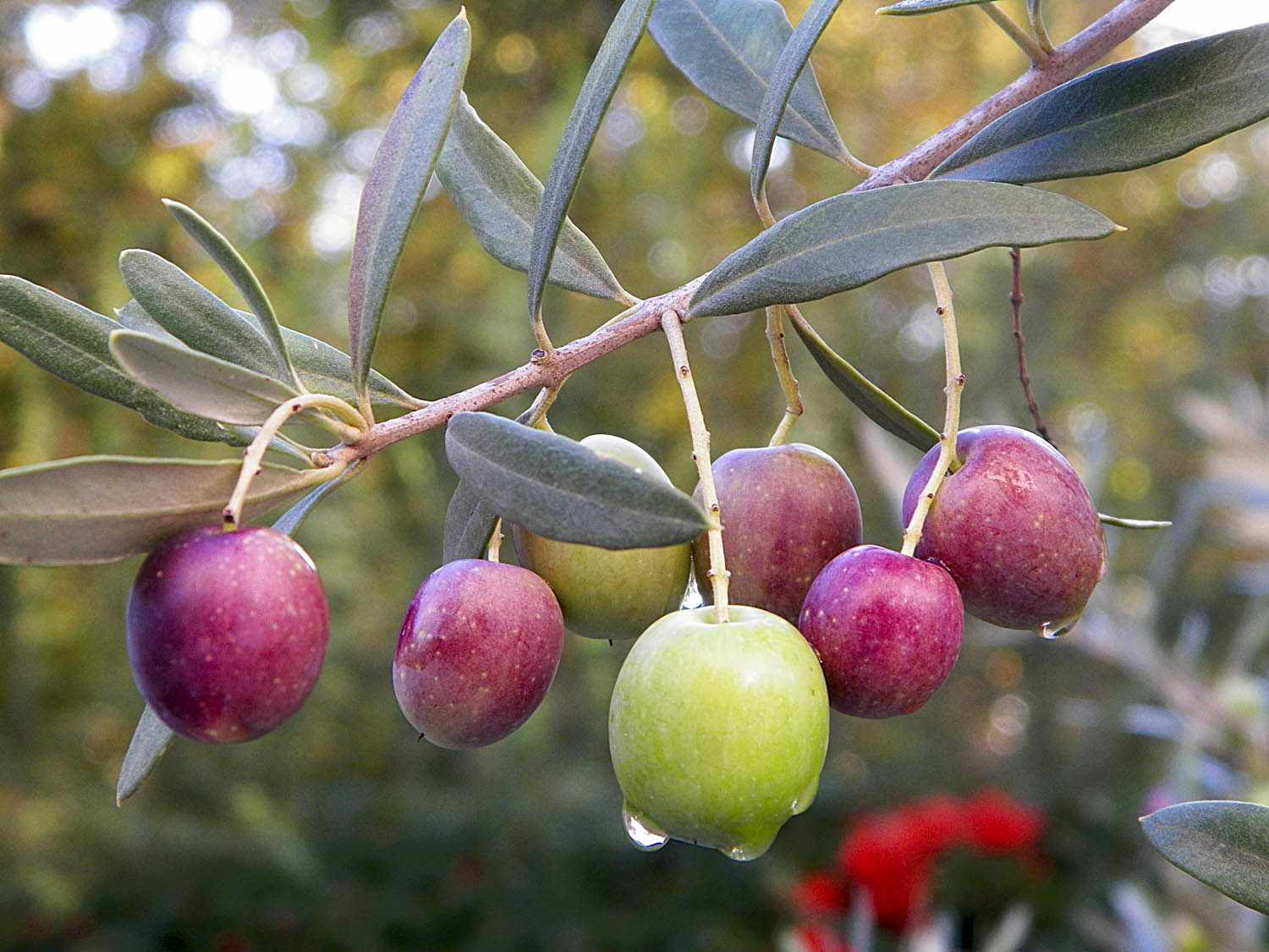 20140910-olives-flickr-cassiopee2010-12-.jpg