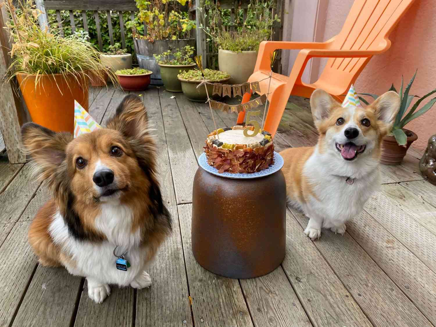Hiccup the corgi with his birthday cake and his friend