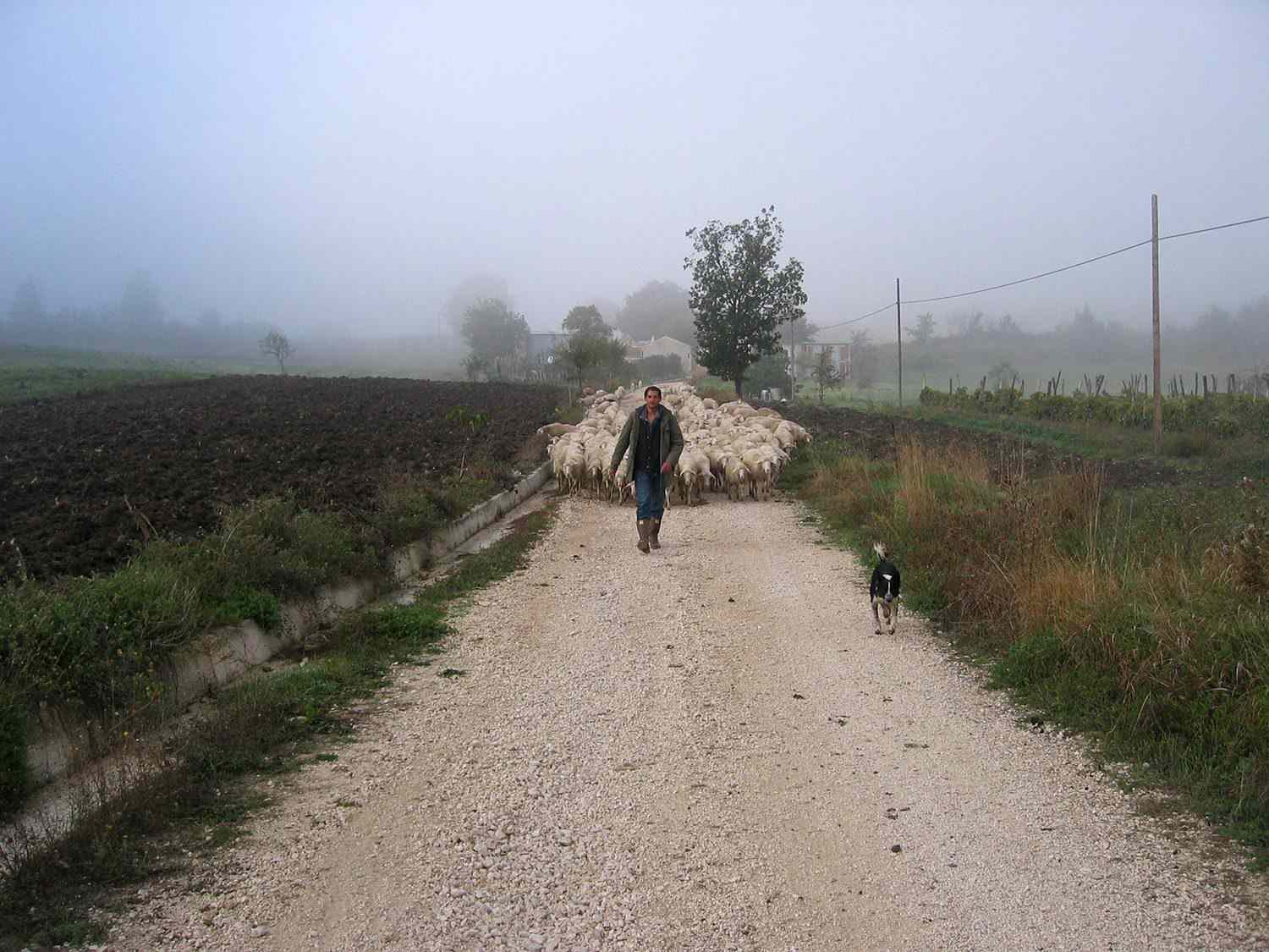 A man walking down a dirt and gravel path, with a dog walking before him and a herd of sheep behind