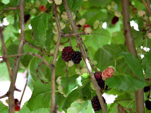20120608-mulberries-closeup.jpg