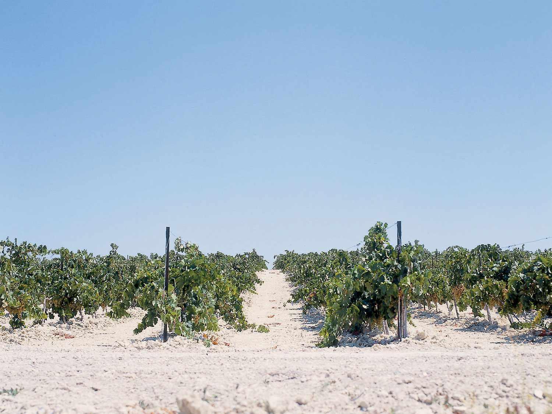 Sherry vineyard in Albariza soil