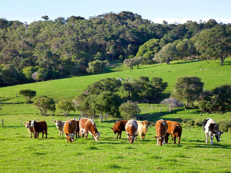 Grazing cattle in a field
