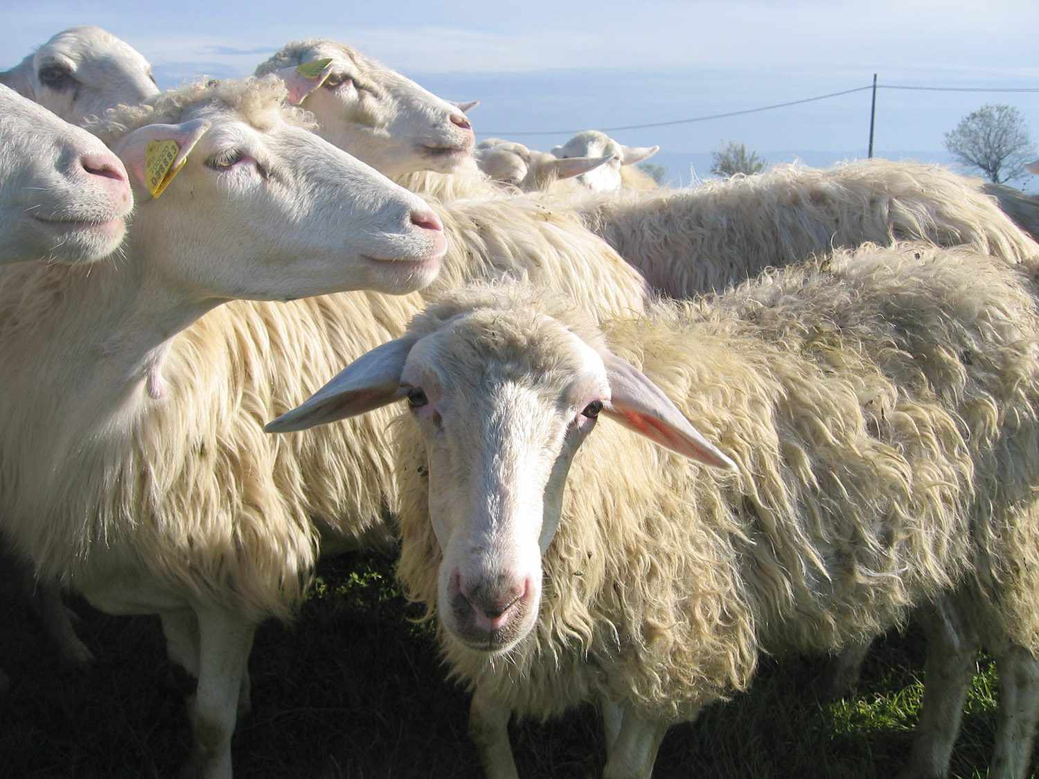Close-up of sheep used for producing milk for cheesemaking, in Italy