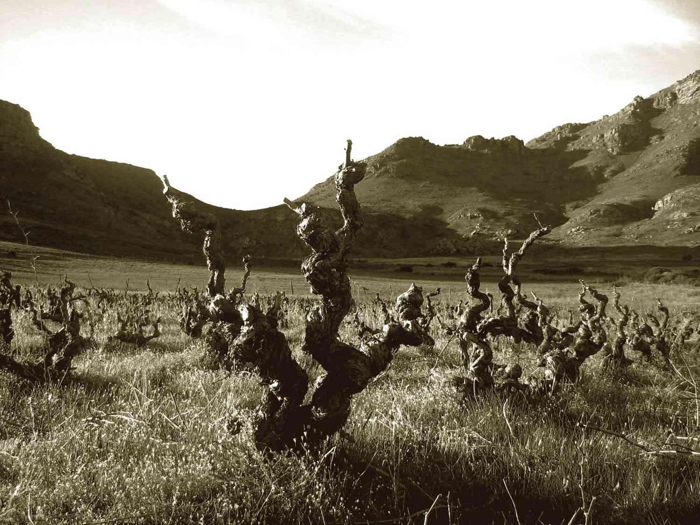 20140420-Voetpad-old-vines-credit-Swartland-region-wines-of-south-africa.jpg