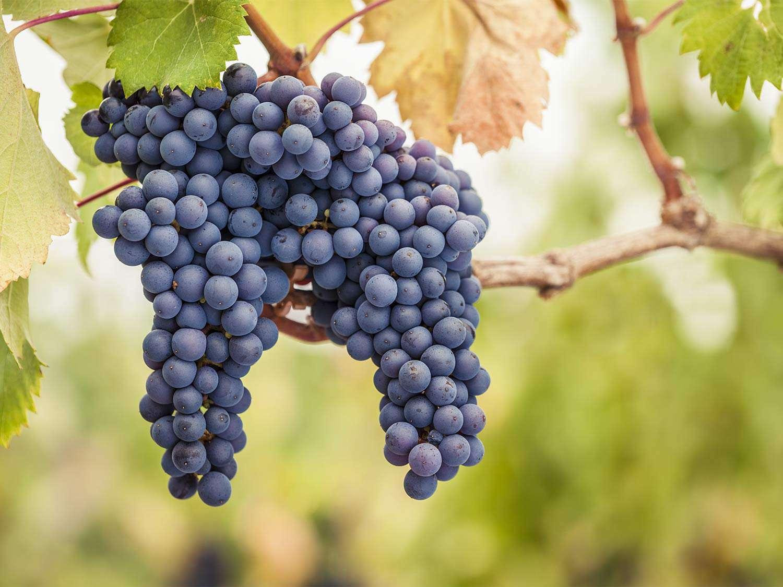 20150713-chilean-wine-pinot-noir-grapes-shutterstock.jpg