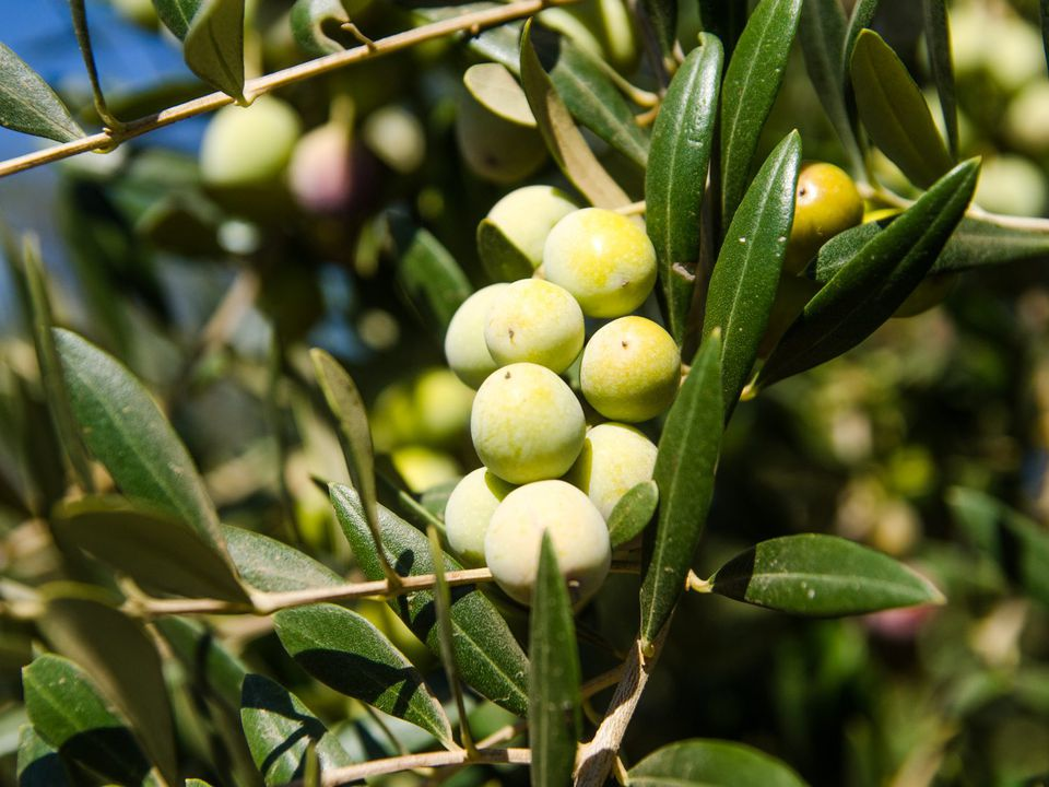 A bunch of olives on a tree