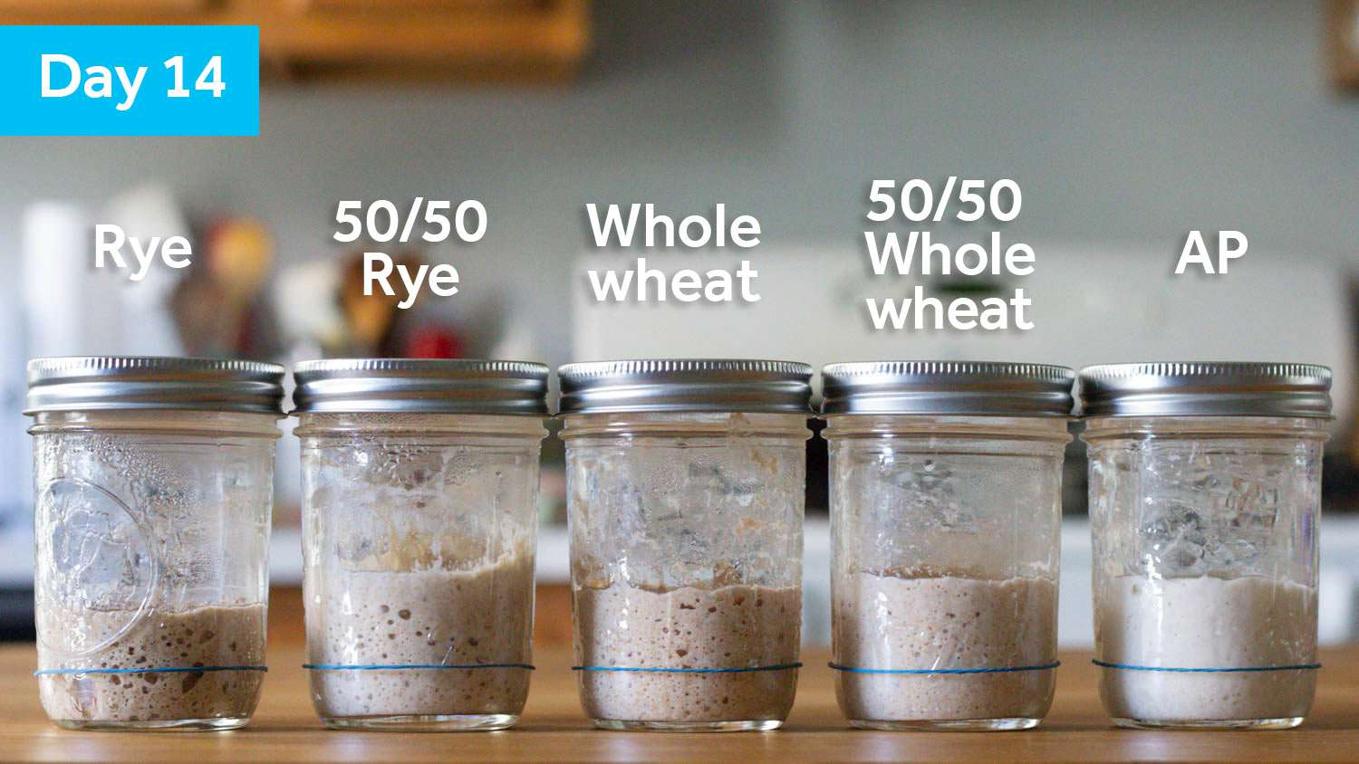 All the samples on Day 14; they all look similarly risen except for the 100% rye sample, which is slightly lower