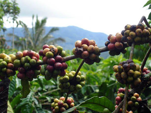 sumatra-coffee.jpg