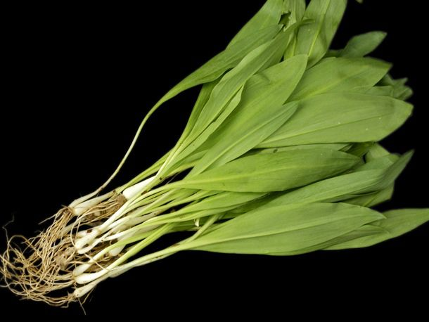 A group of freshly picked ramps.
