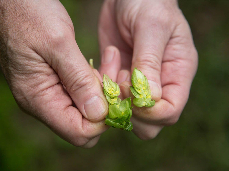 20140903-hop-farm-split-hop-rabi-abonour.jpg