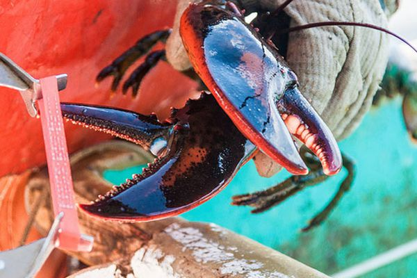 20130913-lobster-closeupclaw2.jpg