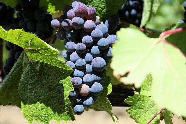 20110612-pino-noir-grape-amateur-tastealong.jpeg