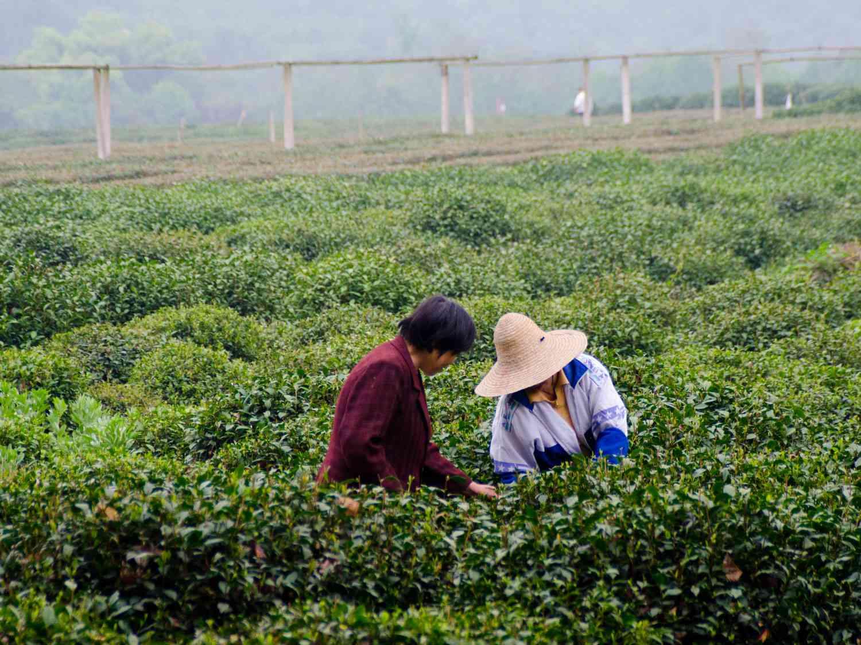 20150331-tea-pickers-max-falkowitz.jpg